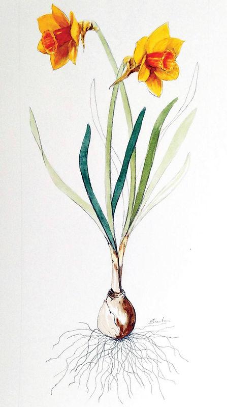 Daffodil Bulb in Bloom