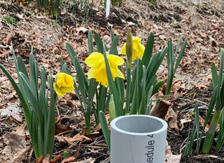 First Daffodils Blooming in February 2019