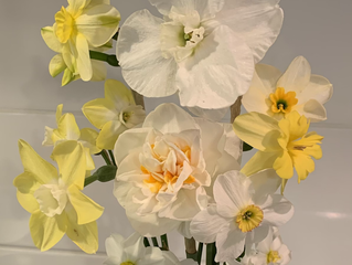 Late Blooming Daffodils Now Wrapping up the 2021 Daffodil Season