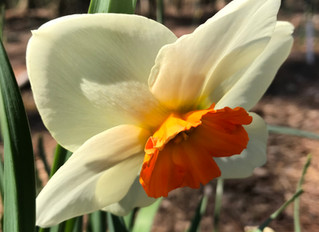 """New to our list this year - """"Dressy Bessie"""" 2 W-GYO, and blooming here at Flower Farm on S"""