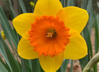 A bright daffodil that has been blooming for the 1st two weeks of March this year, will be available