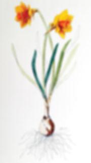Flower Farm on Silva Buy Daffodil Bulbs Online