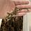 Thumbnail: Pine Isle Chahoua - Unsexed