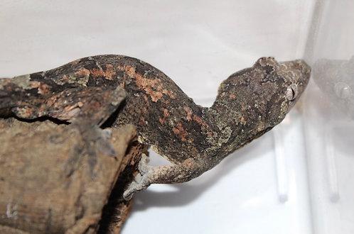 Pine Isle Chahoua - Adult Male