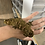 Thumbnail: High Color Nuu Ana x Nuu Ami - Sub Adult Male