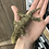 Thumbnail: Mt Humboldt - Juvenile Female