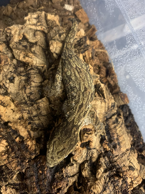 Troger Mt Koghis - Juvenile Female