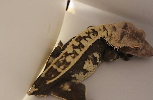 Pinstripe - Adult Female