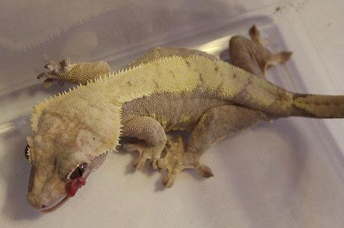 Yellow - Adult Female