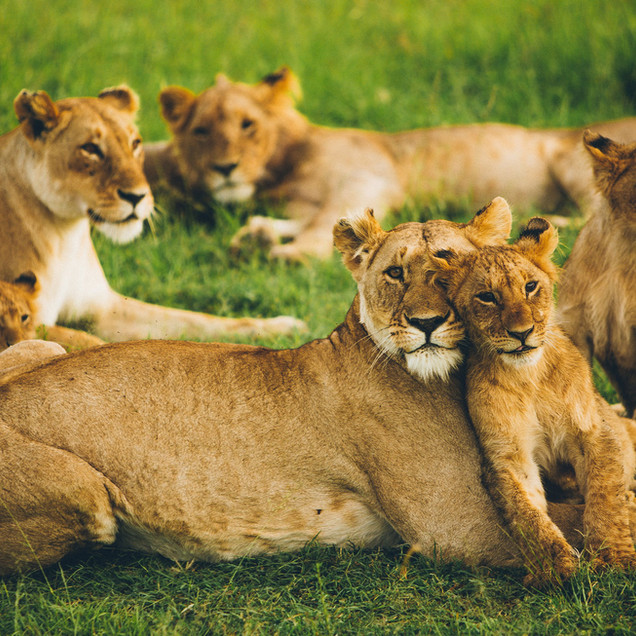 Peaceful pride of lions
