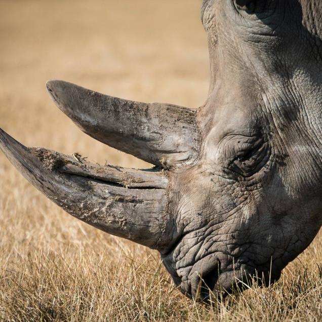 Beautiful old rhino