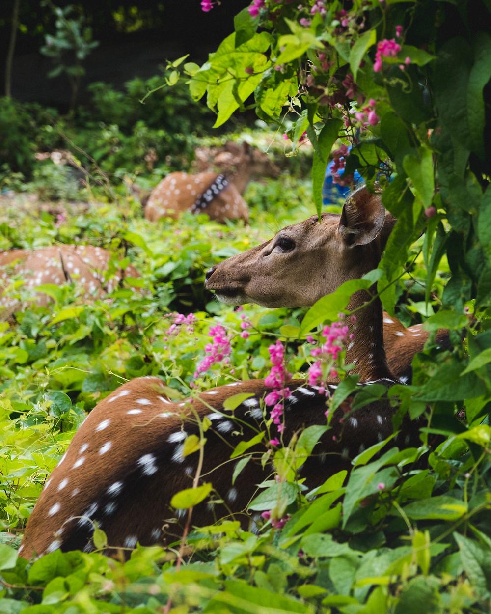 Trincomalee Sri Lanka deer