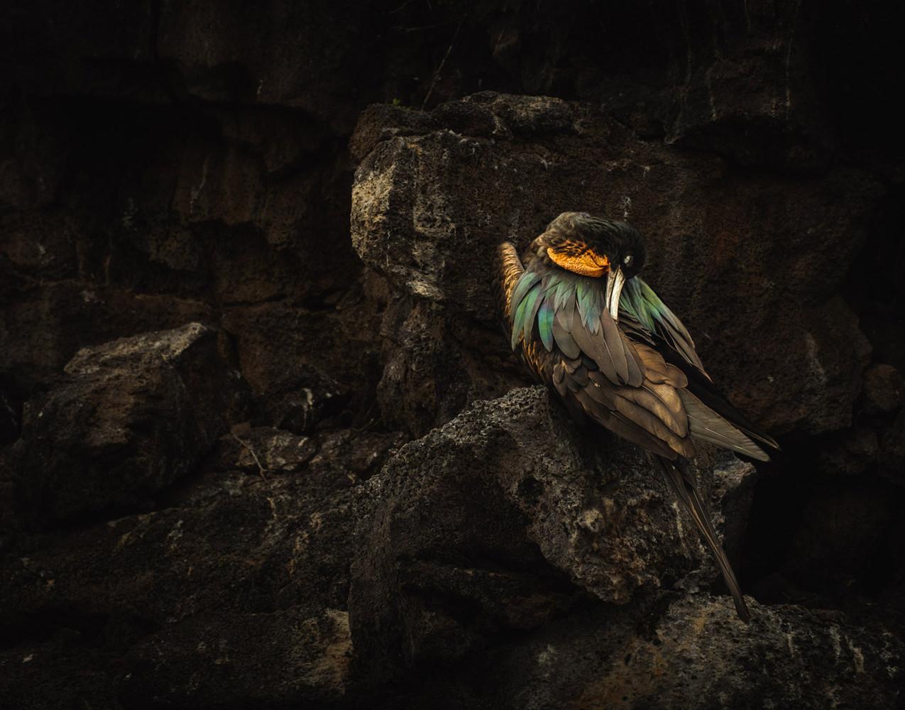 frigate-bird-galapagos-islands