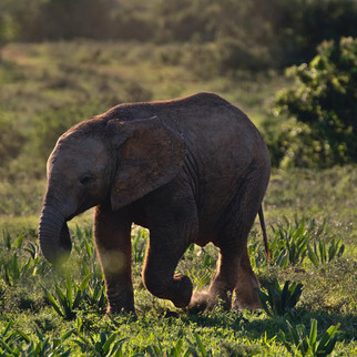 A baby elephant out for a stroll