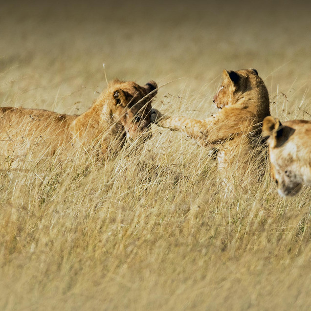 Lion cubs playing in the field
