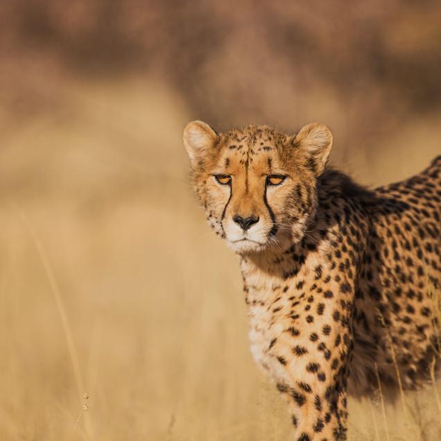 Cheetah hunting a buck