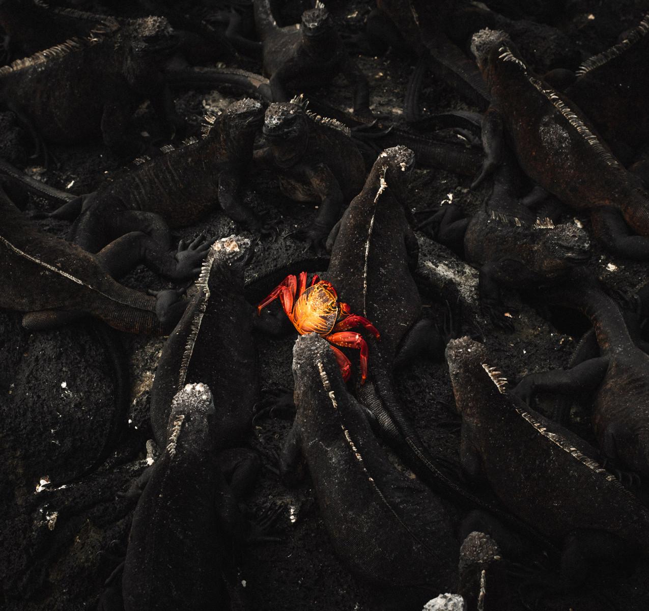 marine-iguanas-crab-galapagos