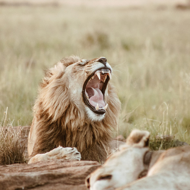 Yawning lion in the wild