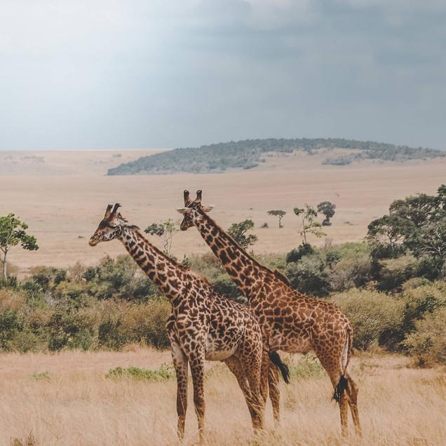 Pair of giraffes relaxing