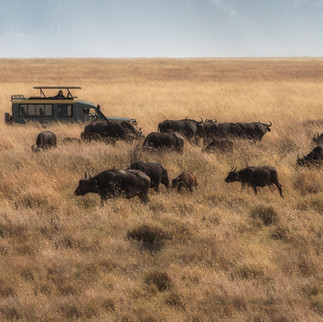 Herds of buffalo