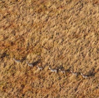 Herd of zebra in an open field
