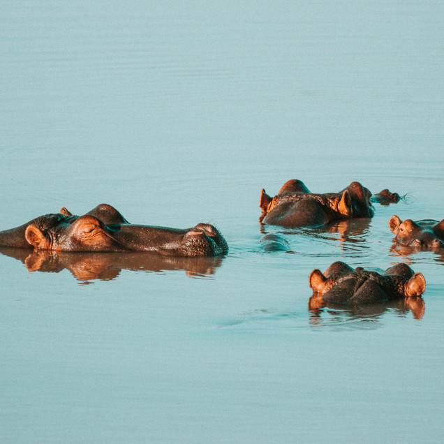 Hippo family in calm waters