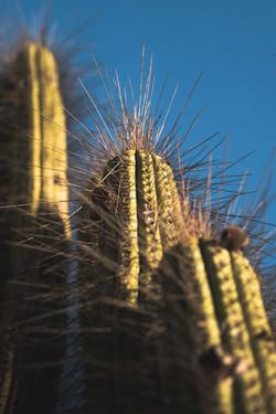 Vicuna cactus