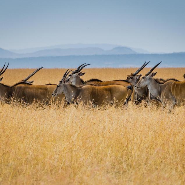Eland peacefully roam