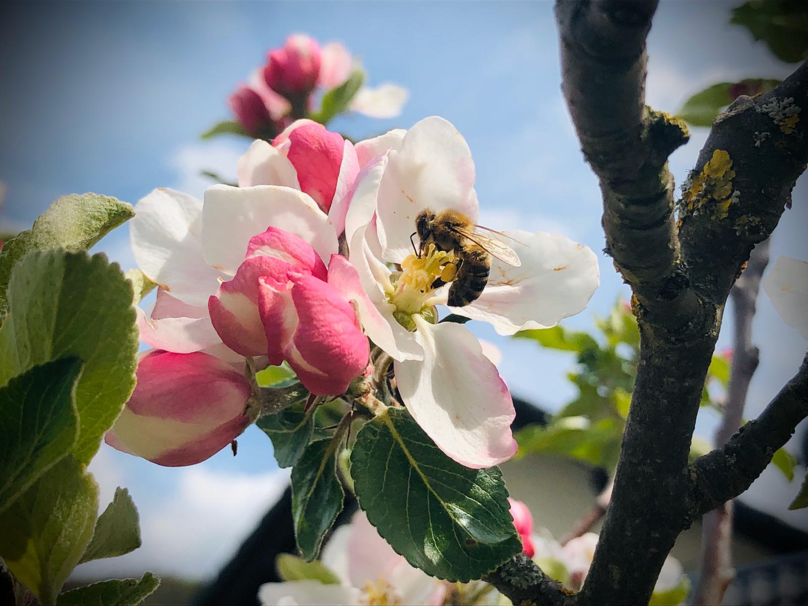 Honigbiene in der Apfelblüte