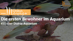 Die ersten Bewohner im 450 Liter Diskus-Aquarium!