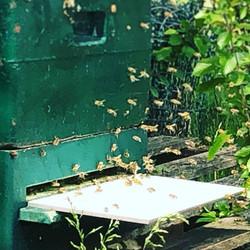 Bienen vor der Beute