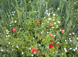 6  Wiesenblumen.JPG