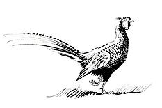 pheasant - Maristow.png