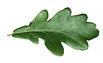 Oak1.png