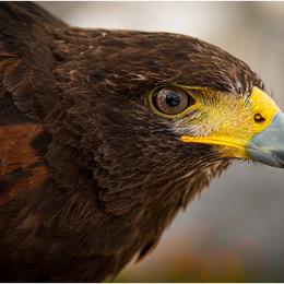 ADV_Bird of Prey_888778.jpg