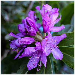 ADV_Rhododendron_889647.jpg