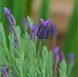 IMP_French Lavender_889453.jpg