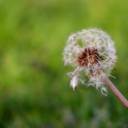 IMP_Single Dandelion Flower Head_889638.