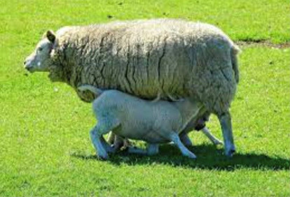 het Texelse schaap