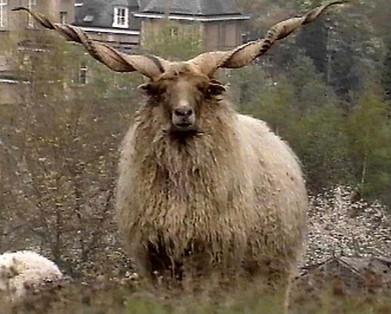 het Racka schaap