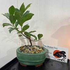 Tigerbark Ficus oval teal 1.jpg