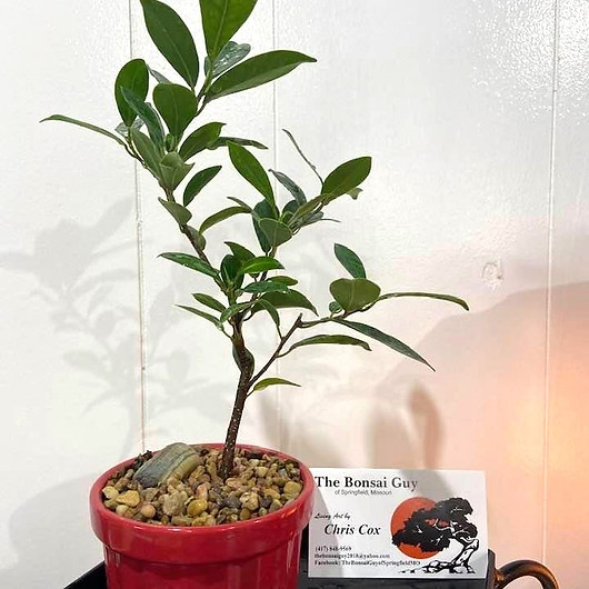 Tigerbark%20Ficus%20red%201_edited.jpg