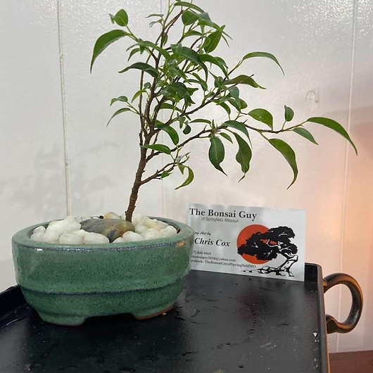 Ficus Too LIttle Teal 1.jpg