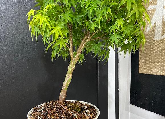 Sharps Pygmy Japanese Maple Bonsai