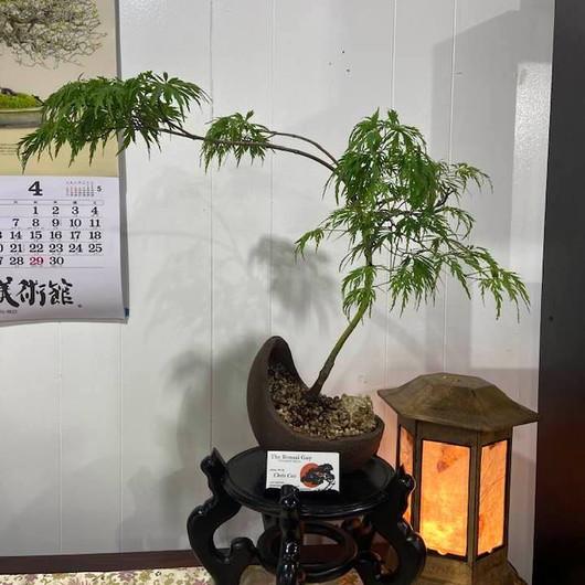 Lace Leaf Japanese Maple 1.jpg
