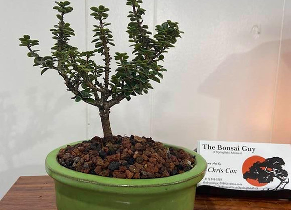 Triple J Holly Bonsai Tree