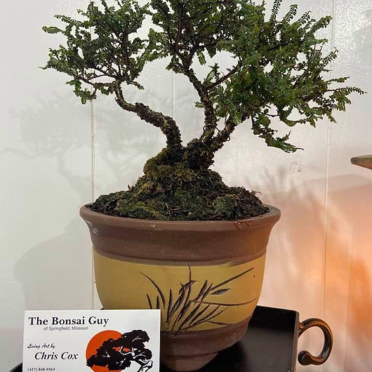 Hakkaio Elm Asian pot 1.jpg