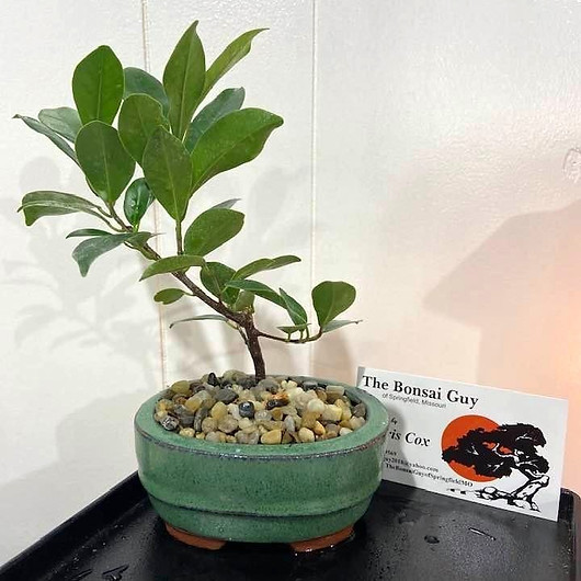 Tigerbark%20Ficus%20oval%20teal%201_edit