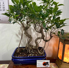 Tigerbark Ficus double trunk blue rect 4