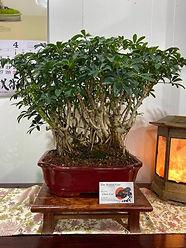 Lucerne Schefflera red rect 1.jpg